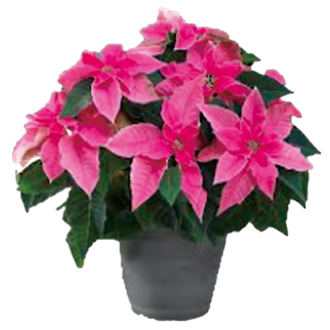 Potted Princettia(Pink)