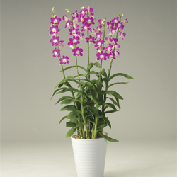 Potted Denfare Orchid