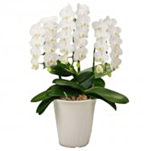 Potted Phalaenopsis Orchid white small size